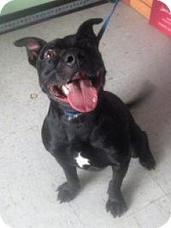 Staffordshire Bull Terrier Mix Dog for adoption in Darien, Georgia - Titus
