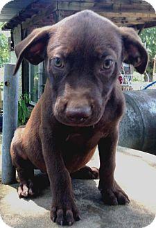 Labrador Retriever Mix Puppy for adoption in Boston, Massachusetts - Truman