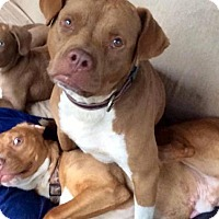 Adopt A Pet :: Archie - Rowayton, CT