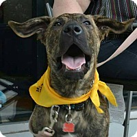 Adopt A Pet :: CADEN - Winnipeg, MB