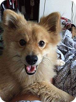 Pomeranian Mix Dog for adoption in Fountain Valley, California - Tommy
