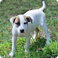 Adopt A Pet :: BOXER_HOUND PUPS NEED FOSTER OR FOREVER HOMES - Franklin, TN