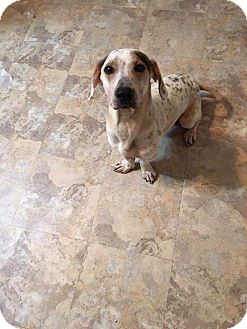 Beagle/Dachshund Mix Dog for adoption in Crosbyton, Texas - Ozzy