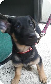 German Shepherd Dog Puppy for adoption in Lithia, Florida - Sarah pup Jessy- 16. Last pup left of this litter