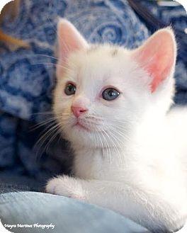 Domestic Shorthair Kitten for adoption in Nashville, Tennessee - Springfield