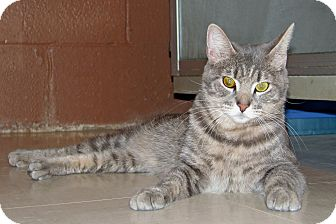 Domestic Shorthair Cat for adoption in Ruidoso, New Mexico - Lana