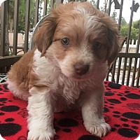 Adopt A Pet :: Cinnamon - Santa Ana, CA