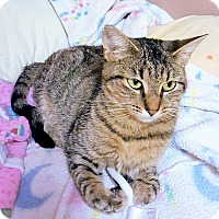 Domestic Shorthair Cat for adoption in Morganton, North Carolina - Belle