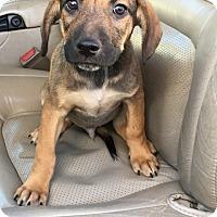 Adopt A Pet :: Paul - pending - Manchester, NH