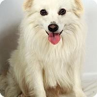 Adopt A Pet :: Blizzard AmEskimoMix - St. Louis, MO