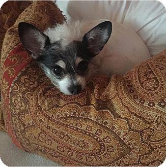 Terrier (Unknown Type, Medium)/Chihuahua Mix Dog for adoption in Monrovia, California - Bandit