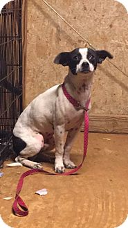 Smooth Fox Terrier/Terrier (Unknown Type, Small) Mix Puppy for adoption in Denver City, Texas - Amos