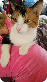 Calico Kitten for adoption in Perth Amboy, New Jersey - Gidget