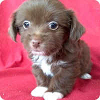 Adopt A Pet :: Dash - Lawrenceville, GA
