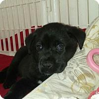 Adopt A Pet :: Apollo Ono - Wyoming, MI