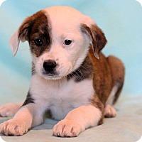 Adopt A Pet :: Amer - Waldorf, MD