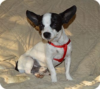Boston Terrier/Chihuahua Mix Dog for adoption in Los Angeles, California - Oreo