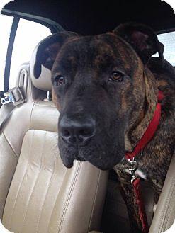 Aldous Snow | Adopted Dog | Atlanta, GA | Mastiff/Great ... Selkirk Rex Atlanta