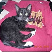 Domestic Shorthair Cat for adoption in Thatcher, Arizona - Baxter