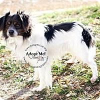 Adopt A Pet :: Leo - Shawnee Mission, KS