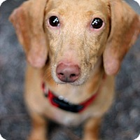 Adopt A Pet :: Sammy - Tinton Falls, NJ