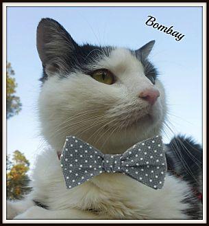 Domestic Shorthair Cat for adoption in Ocean Springs, Mississippi - Bombay