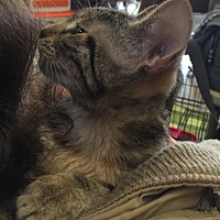 Domestic Shorthair Cat for adoption in Sacramento, California - Kayla