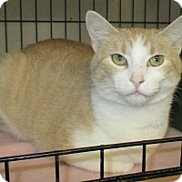 Domestic Shorthair Cat for adoption in Reeds Spring, Missouri - Sunny