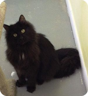 Domestic Longhair Cat for adoption in Fort Benton, Montana - Wilber