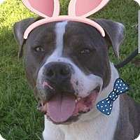 Adopt A Pet :: CHAVO - Red Bluff, CA