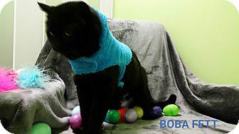 Domestic Shorthair Cat for adoption in Muskegon, Michigan - Boba Fett