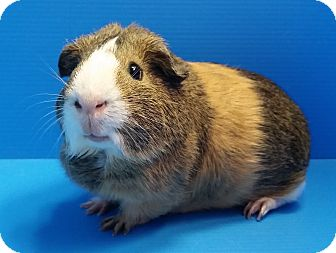 Guinea Pig for adoption in Lewisville, Texas - Claude