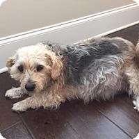 Yorkie, Yorkshire Terrier Mix Dog for adoption in Alpharetta, Georgia - Peety