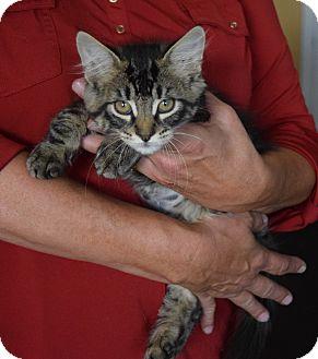 Domestic Shorthair Kitten for adoption in Surrey, British Columbia - Abott