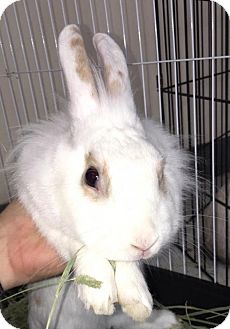 Lionhead Mix for adoption in Los Angeles, California - Buttermilk