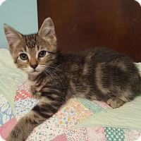 Domestic Shorthair Kitten for adoption in Highland, Indiana - Gunner