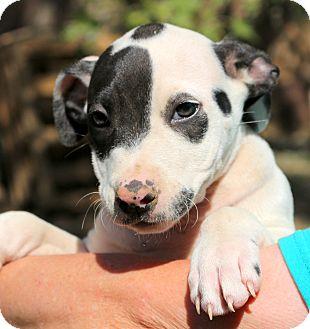 Australian Shepherd/American Staffordshire Terrier Mix Puppy for adoption in Glastonbury, Connecticut - Sugar