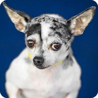 Chihuahua Dog for adoption in Colorado Springs, Colorado - Humphrey