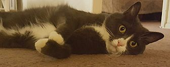 Domestic Shorthair Cat for adoption in Monrovia, California - JayJay
