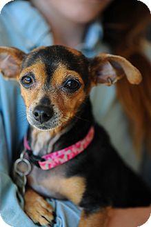 Chihuahua Mix Dog for adoption in Culver City, California - Tina