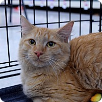 Domestic Mediumhair Kitten for adoption in Flushing, Michigan - Nilla