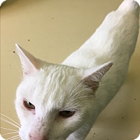 Domestic Shorthair Cat for adoption in Newburgh, Indiana - White Cloud