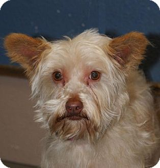 Yorkie, Yorkshire Terrier/Standard Schnauzer Mix Dog for adoption in Prosser, Washington - Gretta