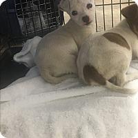 Adopt A Pet :: Jade - Harleysville, PA
