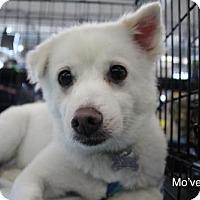 Spitz (Unknown Type, Medium) Dog for adoption in Seattle, Washington - Move Yenchi