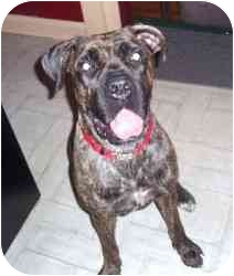 Cane Corso Puppy for adoption in New York, New York - Zoee- OH