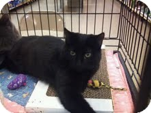 Domestic Shorthair Kitten for adoption in Modesto, California - Blondie