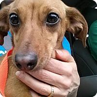 Adopt A Pet :: Peanut - Gainesville, FL