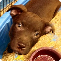 Adopt A Pet :: Choc lab pup - Pompton lakes, NJ