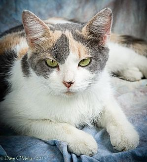 Domestic Shorthair Cat for adoption in Anna, Illinois - LEONA
